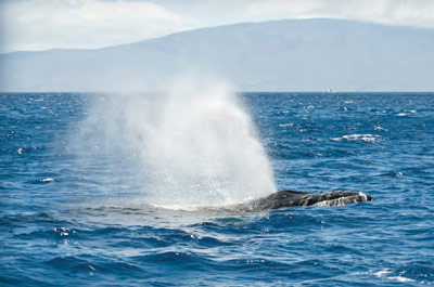 Whale surfacing and emitting spray